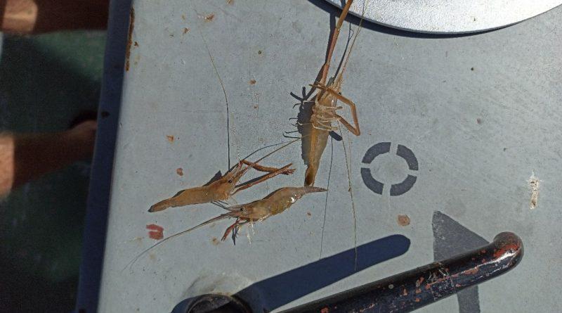 Астраханским рыбакам стали попадаться креветки