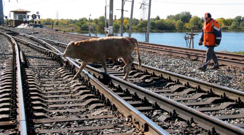 Нарушение правил выпаса скота стало причиной более чем 70 случаев экстренного торможения поездов в Астраханской области с начала года